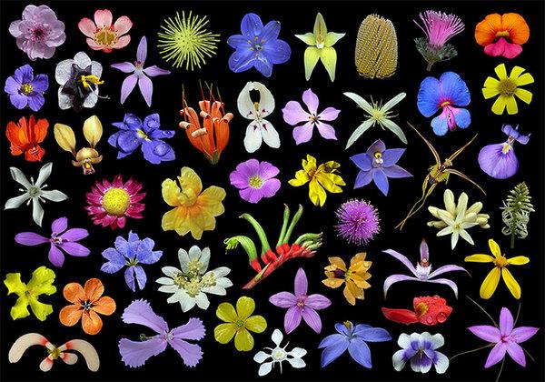 Wildflowers_western_australia.jpg