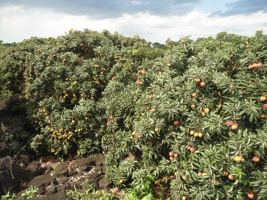 Lychee_trees_in_Hainan_nearing_harvest_time_-_03.jpg