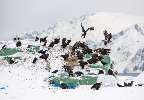 """""""People in town call them Dutch Harbor pigeons.""""  """"Turns out that when you live with a federal symbol up close and personal, day in and day out, it's a little harder to think of them as majestic. Bald eagles show up in the local police blotter alongside reports of drunk fishermen passing out in the wrong bunk or taking off in someone else's forklift.""""  https://story.californiasunday.com/dirty-birds"""