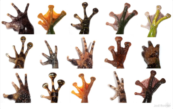 Jodi-Rowley-on-Twitter:-22The-diversity-of-frog-hands.-Adaptations-to-gliding-climbing-and-just-hanging-out-on-the-gr...