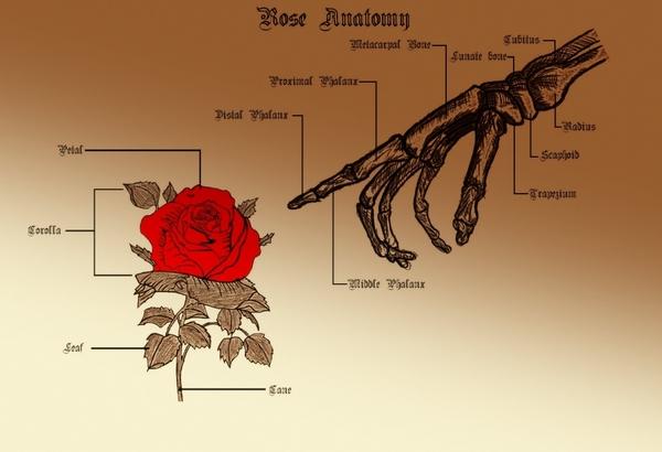 Rose-Anatomy-diagram-of-a-rose-flower-design-Rose-Anatomy.jpg