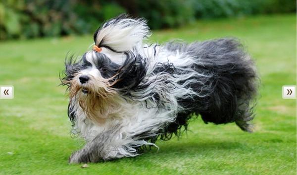 http://www.vetstreet.com/dogs/tibetan-terrier