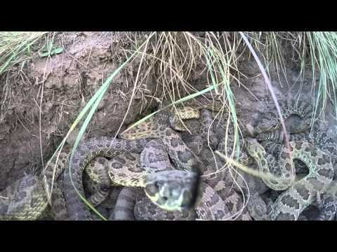 Rattlesnake strikes GoPro and knocks it into pit of snakes. Check out the DJI Mavic Drone, probably safer than what we did if you want a close up of snakes: http://click.dji.com/AE9Ncjczo0cUTBzv9Kk?pm=link&as=0001