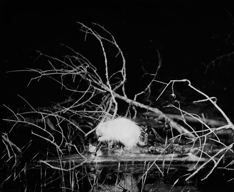 albino-porcupine-on-a-floating-log-whitefish-lake-lake-superior-region-michigan-july-1-19051.adapt.1900.1.jpg