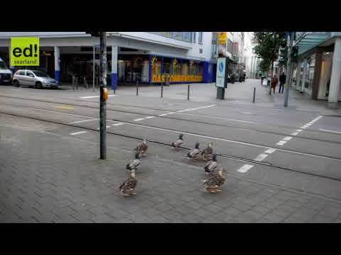 german ducks stop on red light and go on green light