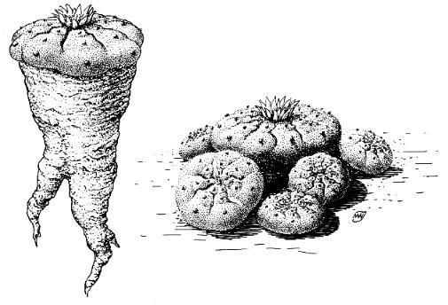 lophophora.williamsii____.jpg