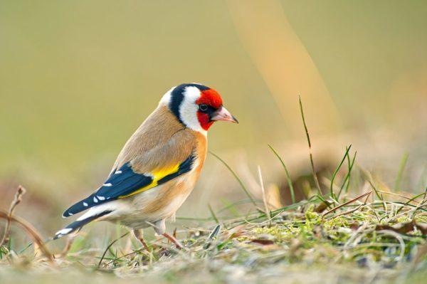 european-goldfinch-adobestock_71016798-1080x719.jpeg