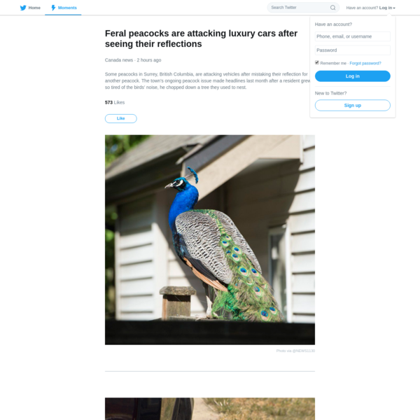 Some peacocks in Surrey, British Columbia, are attacking vehicles after mistaking their reflection for another peacock. The town's ongoing peacock issue made headlines last month after a resident grew so tired of the birds' noise, he chopped down a tree they used to nest.