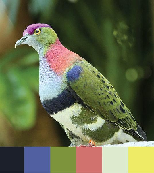 fruit-dove.jpg-f=1