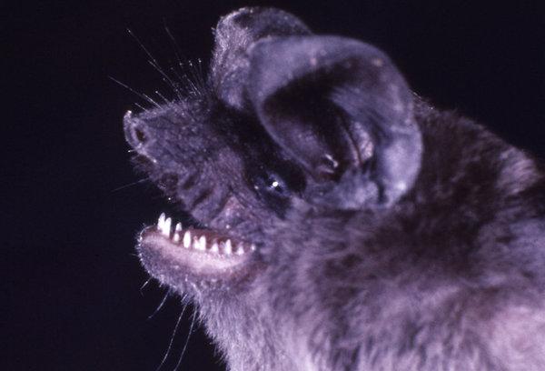 15759-close-up-of-a-jamaican-fruit-bat-pv.jpg