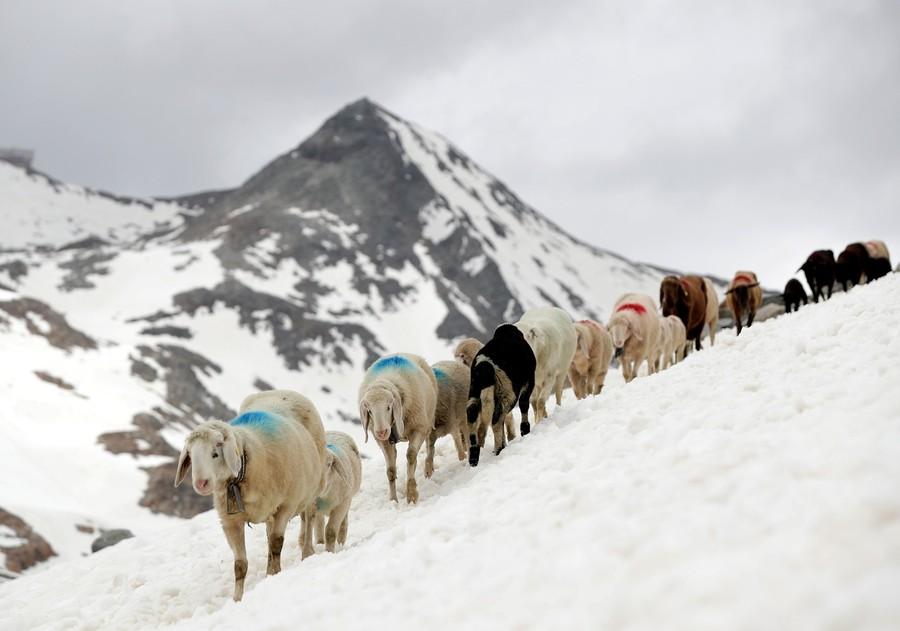 austria-sheep-2018-06-12t100744z-1947006775-rc1ff40e8420-rtrmadp-3-austria-sheep-lisi-niesner-reuters.jpg