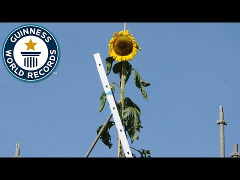 Tallest Sunflower - Guinness World Records
