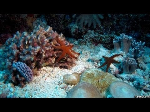 Subscribe to BBC News www.youtube.com/bbcnews Check out this amazing time-lapse video showing the secret life of corals in the Great Barrier Reef. Using time-lapse photography, Dr Pim Bongaerts from the University of Queensland, found a way to show how the coral moves and grows it's normally too slow to see.