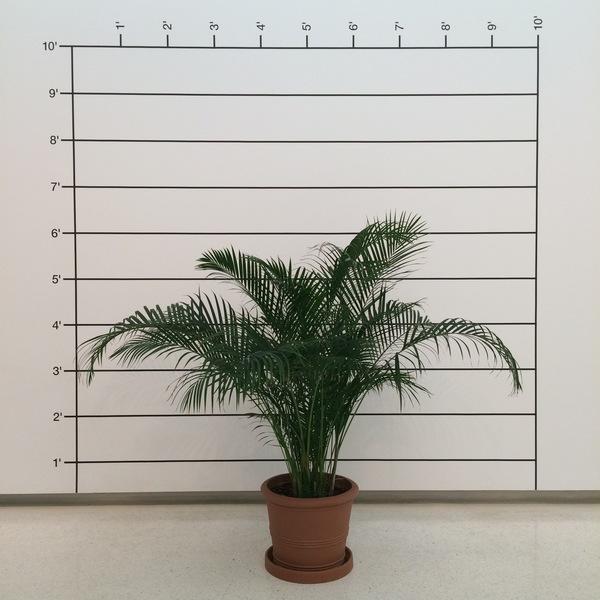 Mel Bochner, Measurement Plant (Palm)