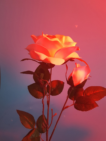 rose_compressed.jpg