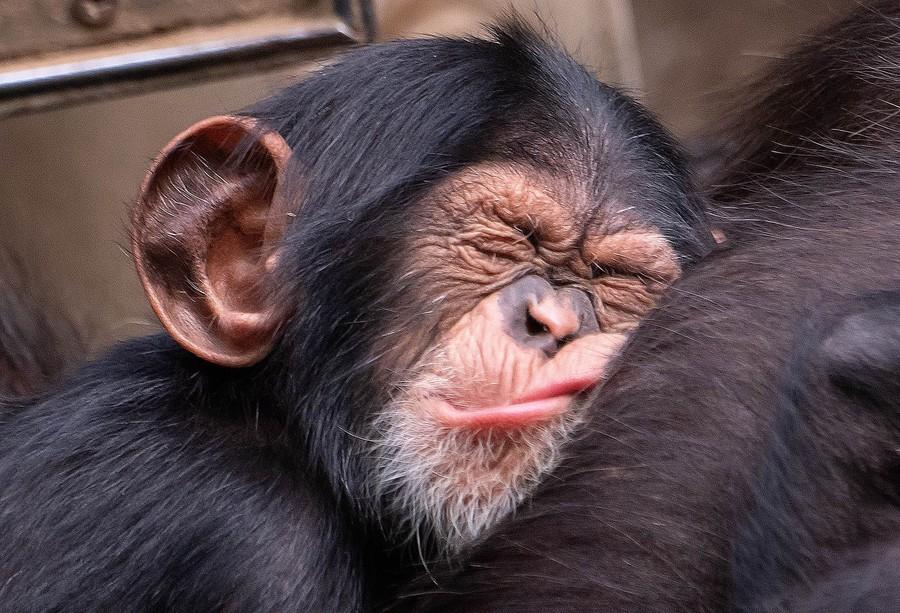 chimpanze-sono.jpg