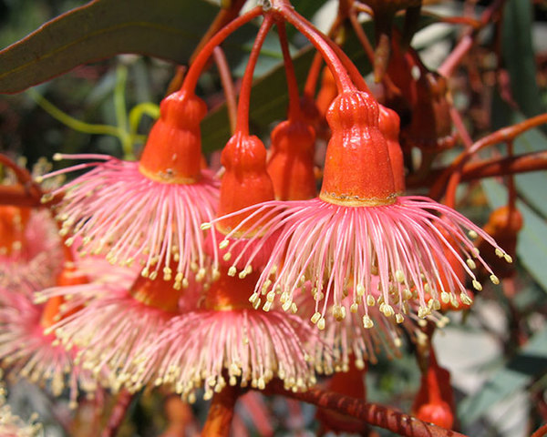 eucalyptus-torquata-flowers-close-up.jpg