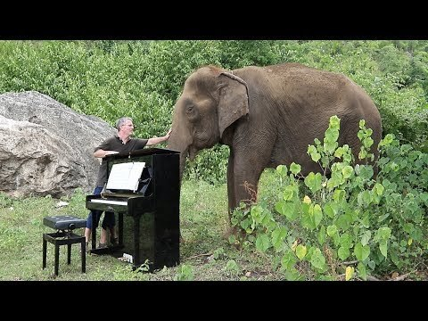 """Debussy """"Clair de Lune"""" for a gentle female elephant called Ampan. Ampan is 80 years old and lives with us as Elephants World in Thailand. She is blind in one eye and can barely see with the other."""