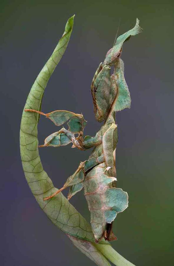 Ghost Mantis