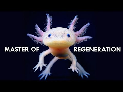 Meet the Axolotl, a Mexican Salamander that scientists and the internet alike love for their amazing ability to regenerate limbs, and probably for that derpy smile.
