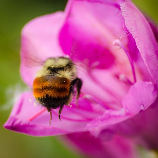 bumblebee-butt9.jpg