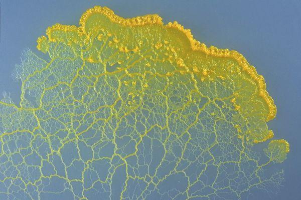 slimemold.jpg