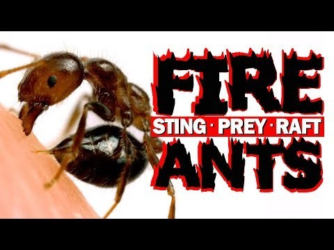 Stinging, prey capture, and rafting behaviors of the red imported fire ant, Solenopsis invicta. Made by Adrian Smith https://twitter.com/DrAdrianSmith To learn more about fire ants, check out this book: http://www.hup.harvard.edu/catalog.ph... Music by & licensed through http://www.soundofpicture.com/ Thanks to Omar Halawani for helping me collect & drip colonies, Kevin Haight for expert info on fire ant stings, & Alli Schumacher for additional camera work.
