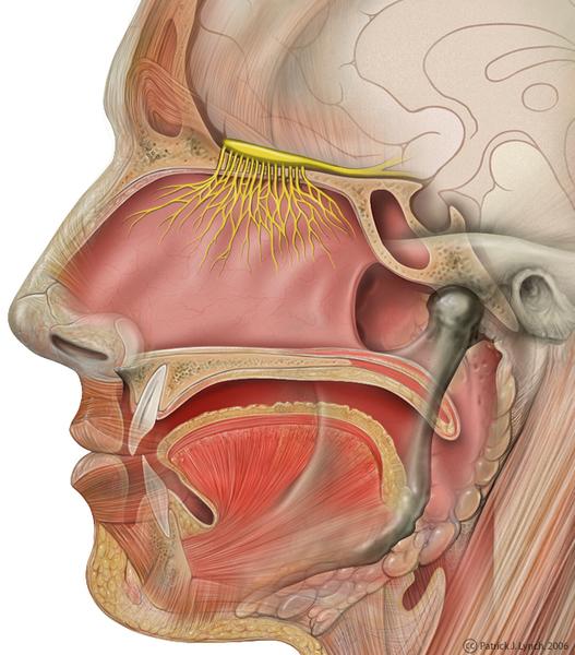 head_olfactory_nerve.jpg