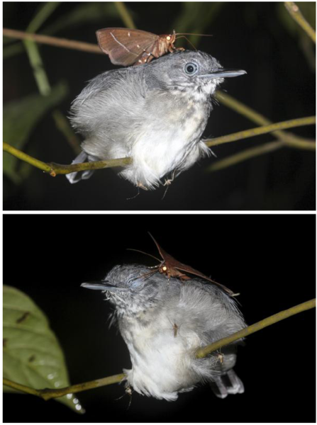 An erebid moth (Gorgone macarea) feeds on the ocular secretions of a Black-chinned Antbird (Hypocnemoides melanopogon) in the neotropical forest in Amazonas, Brazil.  Source: http://blogs.discovermagazine.com/d-brief/2018/09/26/drinking-the-tears-of-a-sleeping-bird-just-usual-moth-stuff/