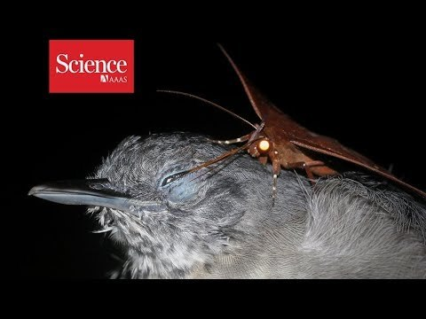 Strategy appears to be an unusual way to get nutrients Learn more: https://www.sciencemag.org/news/2018/09/watch-moth-drink-tears-bird-s-eye Credit: Leandro Moraes About Science Snippets: These videos are short snippets from researchers' work--often videos actually used as data in a study or to demonstrate results in a paper. For context or additional explanation, check paper links and credits.