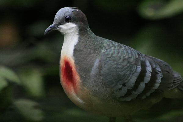 Luzon Bleeding-heart Dove