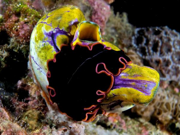 pserudobiceros_gloriosus_-flatworm-_on_polycarpa_aurata_-seasquirt-.jpg