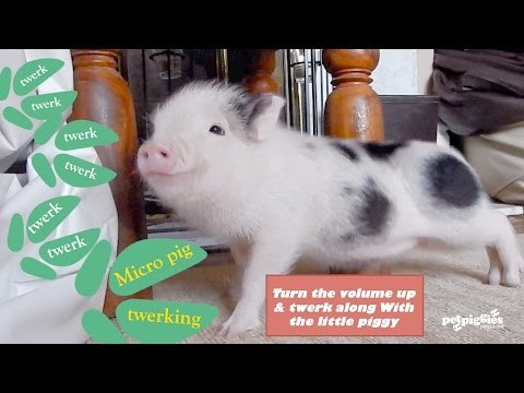 Micro pig goes Twerk, Twerk, Twerk to 'Work, Work, Work'