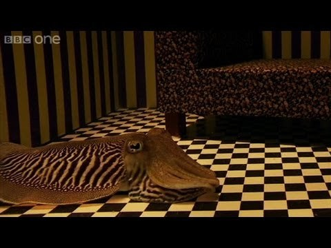 Can Cuttlefish camouflage in a living room? - Richard Hammond's Miracles of Nature - BBC One