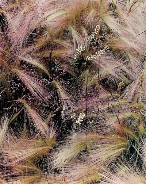 Foxtail Grass, Colorado, Eliot Porter (1957)