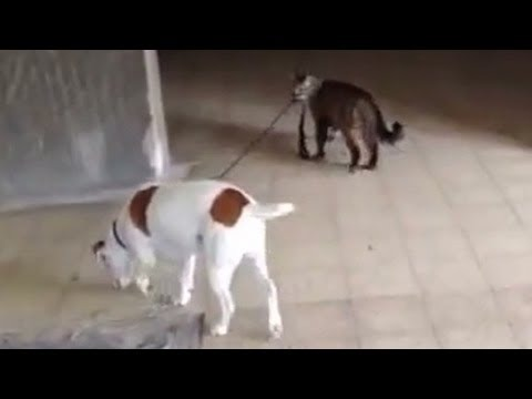 Distraction: Cat walks dog