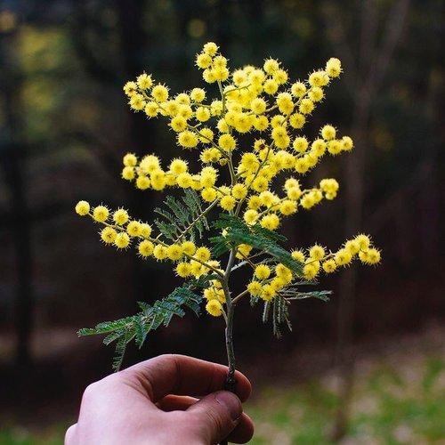 Golden Wattle specimen
