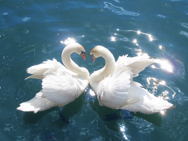 Swans Cygnus