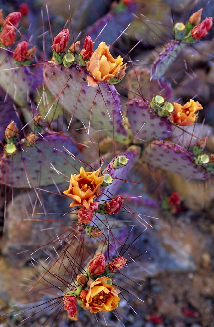 Opuntia macrocentra, American South-West, Mexico
