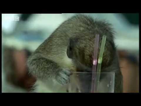 Alcoholic Vervet Monkeys! - Weird Nature - BBC animals