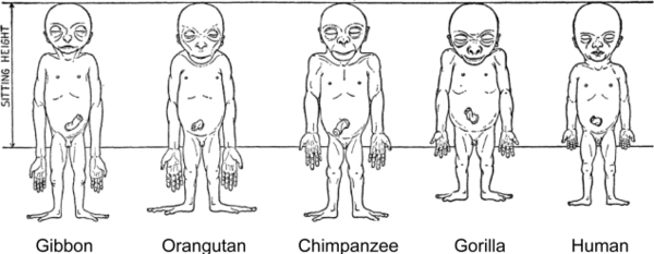 schultzs-sketches-of-the-body-proportions-of-hominoid-fetuses-the-original-legend-for.jpg