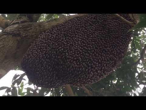 The magic of honeybee - Giant honeybee