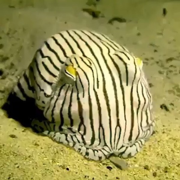 """Goodnight Pyjama Squid 😴! This rare species of Bobtail Squid is called the """"Pyjama"""" squid because of its stripes, squinted e..."""