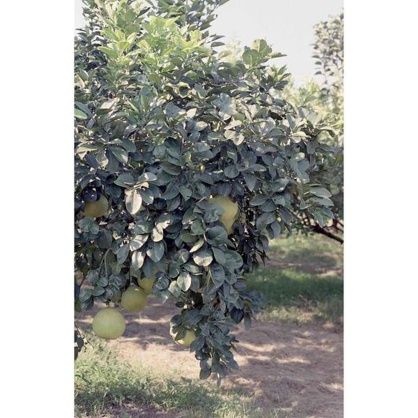 Untitled (Grapefruit tree), 2018