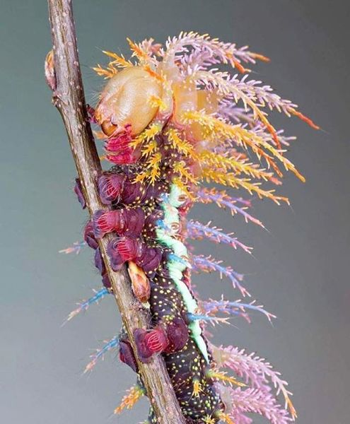 Saturniidae Moth Caterpillar