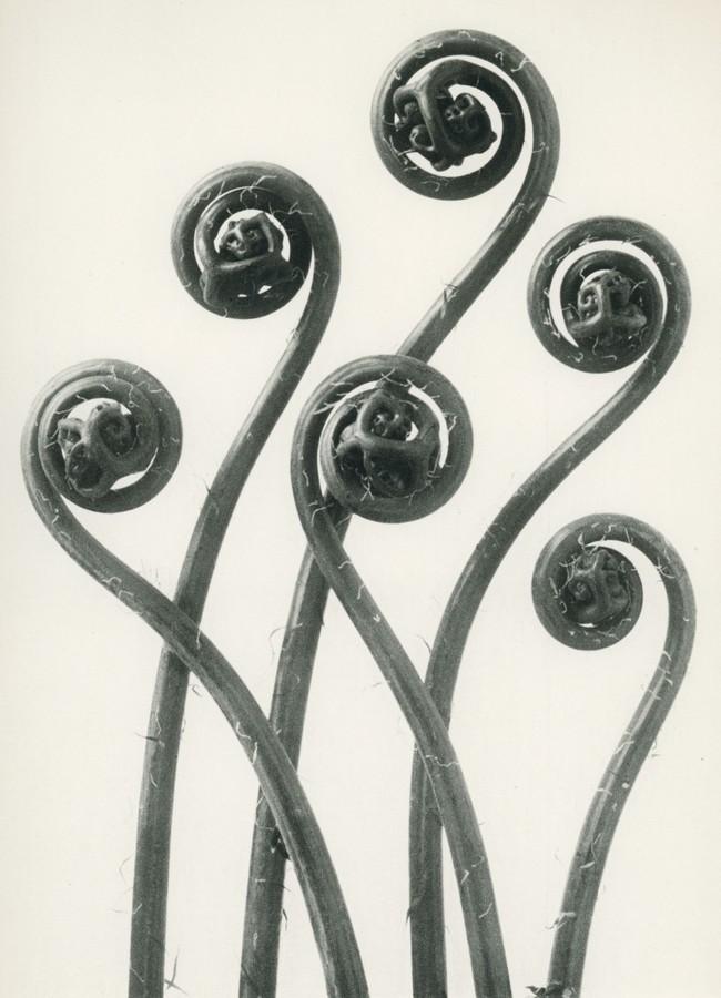 adiantum-pedatum.-maiden-hair-fern-.jpg