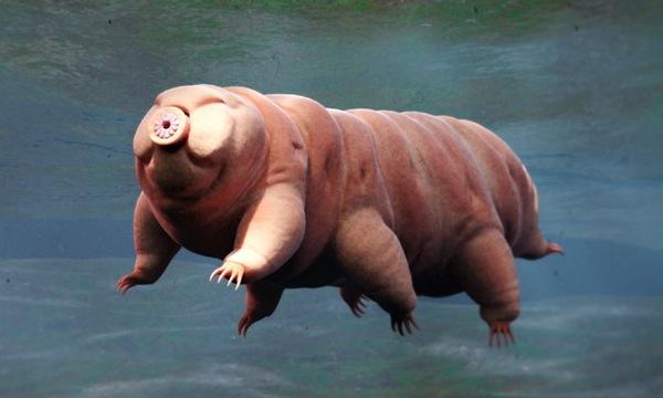 tartdigrade or water bear