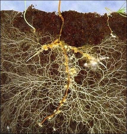mycorrhizae-1.jpg