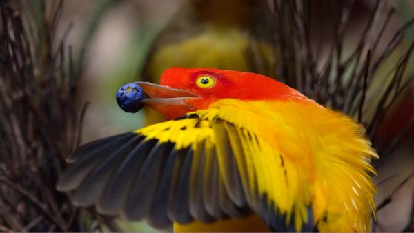 bower-bird.jpg