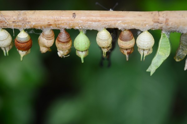 cocoon_butterfly_insect_animal_macro_larva_wing_pupa-764759.jpg